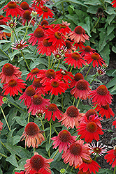 Sombrero® Salsa Red Coneflower (Echinacea 'Balsomsed') at Barson's Greenshouse