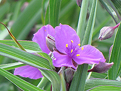 Concord Grape Spiderwort (Tradescantia x andersoniana 'Concord Grape') at Barson's Greenshouse