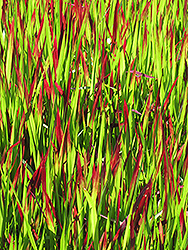 Red Baron Japanese Blood Grass (Imperata cylindrica 'Red Baron') at Barson's Greenshouse