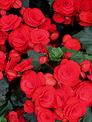 Nonstop® Red Begonia (Begonia 'Nonstop Red') at Barson's Greenshouse