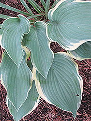 Regal Splendor Hosta (Hosta 'Regal Splendor') at Barson's Greenshouse
