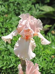 Pink Attraction Iris (Iris 'Pink Attraction') at Barson's Greenshouse