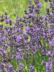 English Lavender (Lavandula angustifolia) at Barson's Greenshouse