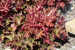Dolce® Cinnamon Curls™ Coral Bells (Heuchera 'Inheuredfu') at Barson's Greenshouse