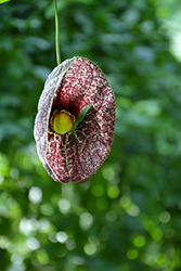 Dutchman's Pipe (Aristolochia macrophylla) at Barson's Greenshouse