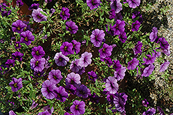 Callie® Dark Blue Calibrachoa (Calibrachoa 'Callie Dark Blue') at Barson's Greenshouse