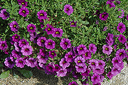 Callie® Purple Calibrachoa (Calibrachoa 'Callie Purple') at Barson's Greenshouse