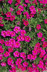 Callie® Rose Calibrachoa (Calibrachoa 'Callie Rose') at Barson's Greenshouse