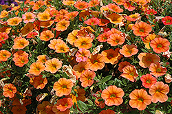 MiniFamous® iGeneration Orange Calibrachoa (Calibrachoa 'MiniFamous iGeneration Orange') at Barson's Greenshouse