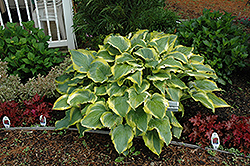Seducer Hosta (Hosta 'Seducer') at Barson's Greenshouse