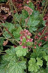 Berry Timeless Coral Bells (Heuchera 'Berry Timeless') at Barson's Greenshouse