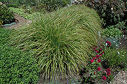Desert Plains Fountain Grass (Pennisetum alopecuroides 'Desert Plains') at Barson's Greenshouse