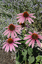 Prairie Splendor Coneflower (Echinacea purpurea 'Prairie Splendor') at Barson's Greenshouse