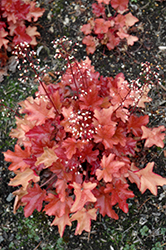 Peach Flambe Coral Bells (Heuchera 'Peach Flambe') at Barson's Greenshouse