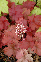 Fire Alarm Coral Bells (Heuchera 'Fire Alarm') at Barson's Greenshouse