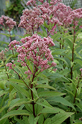 Baby Joe Dwarf Joe Pye Weed (Eupatorium dubium 'Baby Joe') at Barson's Greenshouse