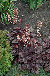 Grape Expectations Coral Bells (Heuchera 'Grape Expectations') at Barson's Greenshouse