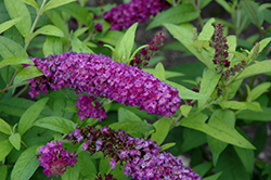 Crown Jewels Butterfly Bush (Buddleia 'Crown Jewels') at Barson's Greenshouse