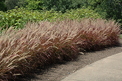 Purple Fountain Grass (Pennisetum setaceum 'Rubrum') at Barson's Greenshouse