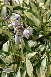 Loyalist Hosta (Hosta 'Loyalist') at Barson's Greenshouse