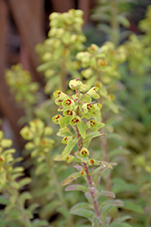 Ascot Rainbow Variegated Spurge (Euphorbia 'Ascot Rainbow') at Barson's Greenshouse
