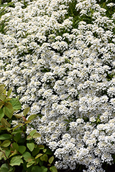 Candytuft (Iberis sempervirens) at Barson's Greenshouse