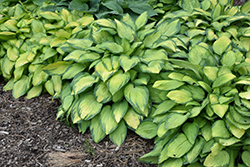 Paul's Glory Hosta (Hosta 'Paul's Glory') at Barson's Greenshouse