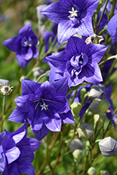 Astra Double Blue Balloon Flower (Platycodon grandiflorus 'Astra Double Blue') at Barson's Greenshouse